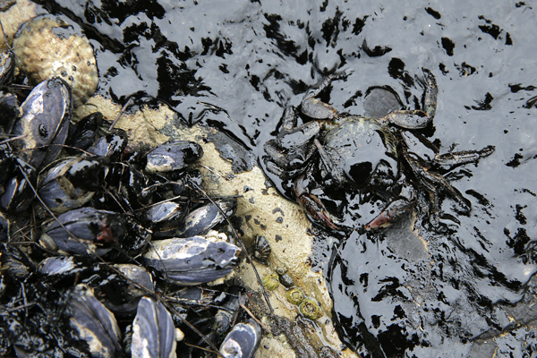 The area along the Santa Barbara coast where the recent oil spill occurred is rich in marine life, such as these mussels and crab.