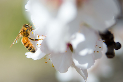 Pollinating a blossom in an almond orchard.
