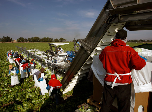 Farm workers at a U.S.-owned lettuce plantation, Guanajuato, Mexico, March 2008. (AP photo)