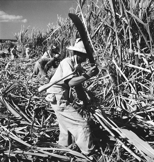 A harvester hacks at sugar cane with his machete in Puerto Rico, June 1948