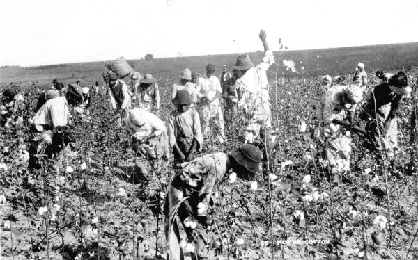 Picking cotton in Florida