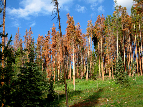 Lodgepole pines killed by the pine bark beetle. (Credit: V Smoothe/Creative Commons)