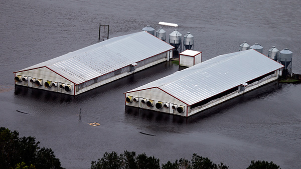 Pig farms in Lumberton, North Carolina, remain flooded after hurricane Florence.